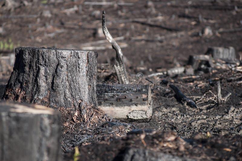 黑树桩特写镜头在森林火灾以后的在再生沼地 免版税库存照片