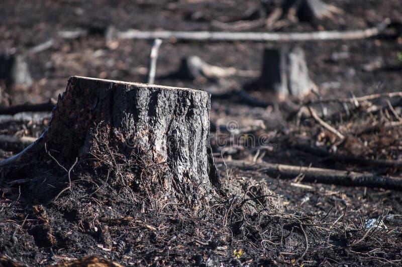 黑树桩特写镜头在阳光下在森林火灾以后 免版税图库摄影
