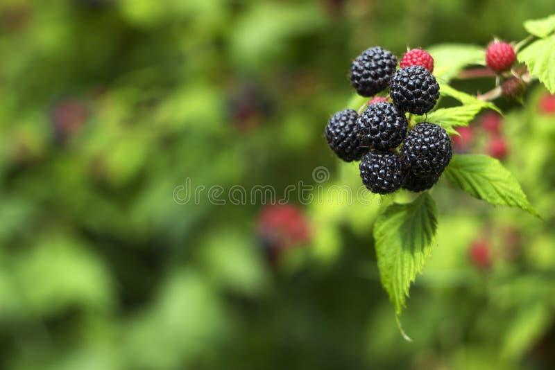 黑树莓悬钩子属植物occidentalis在庭院,绿色未成熟和成熟健康莓果,背景里增长 免版税库存照片
