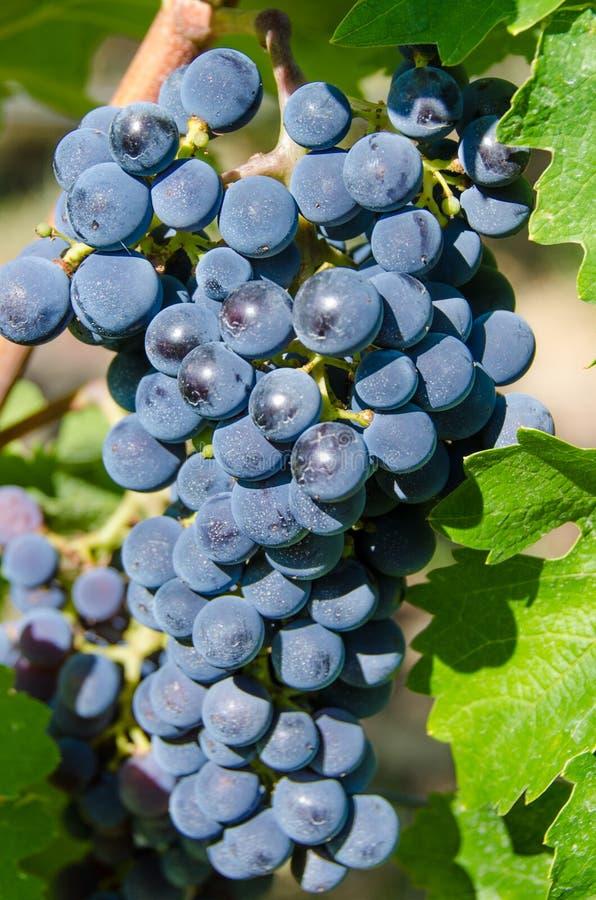 黑比诺葡萄酒葡萄 免版税库存图片