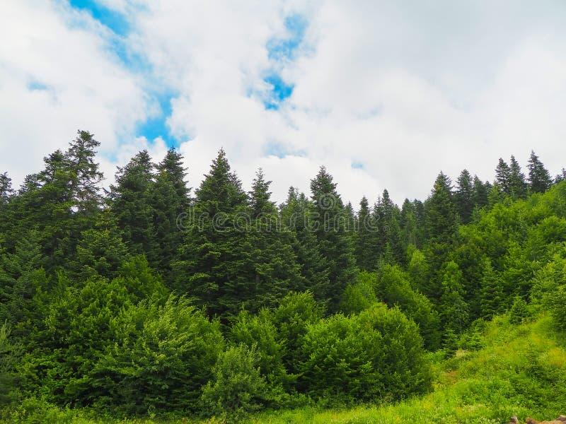 黑海火鸡和绿色杉树森林环境美化与蓝色多云天空 免版税库存图片
