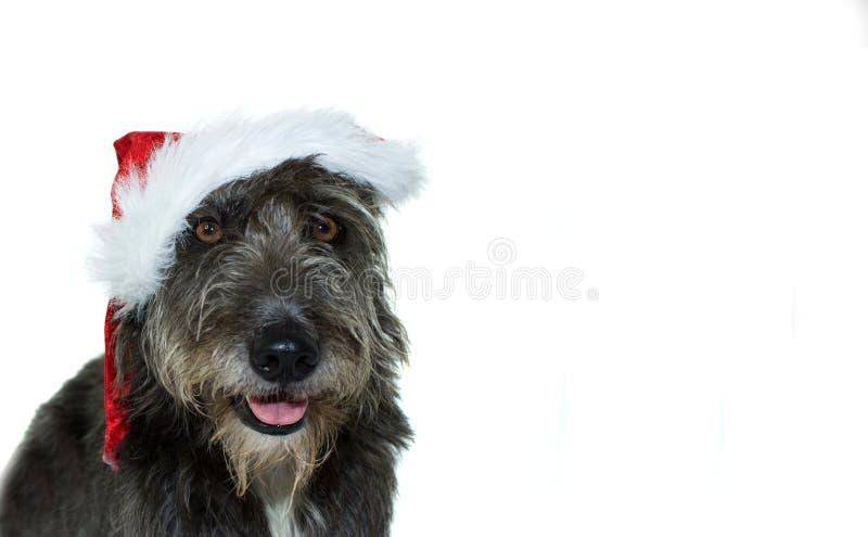 黑混杂的品种狗佩带的一个红色圣诞节圣诞老人帽子孤立 库存照片