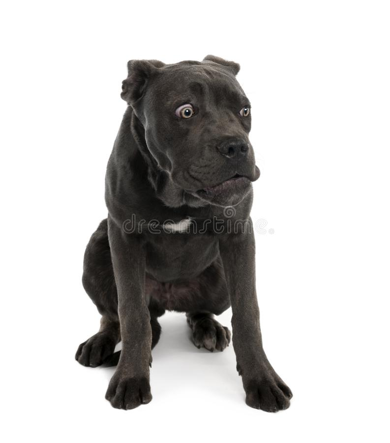 黑混杂的拙劣的狗画象与哀伤的面孔的 库存图片