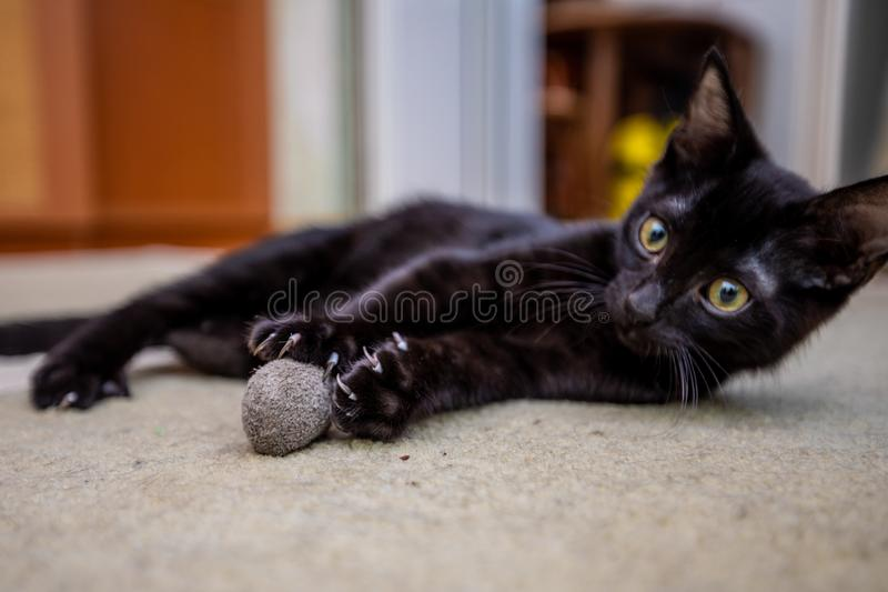 黑滑稽的小猫在家演奏与玩具老鼠 库存照片