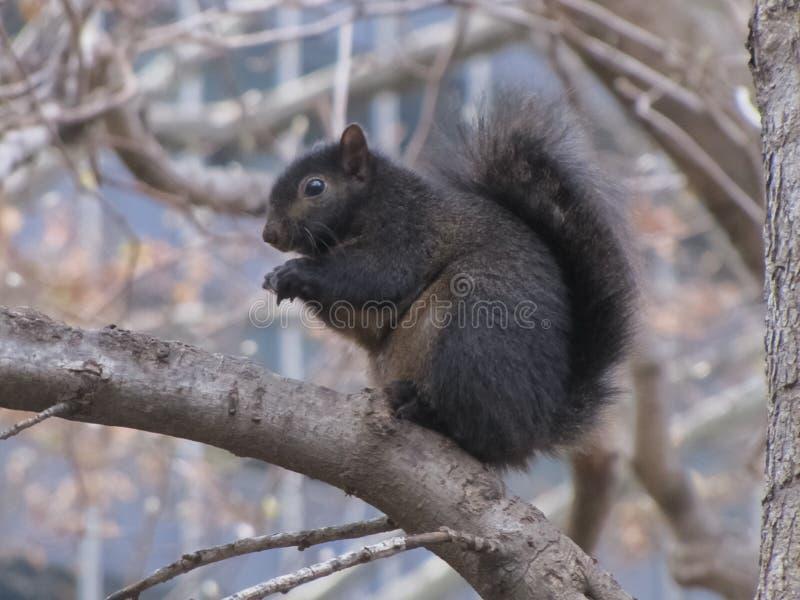 黑灰鼠坐树枝 免版税库存图片