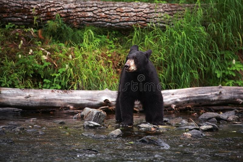 黑熊在阿拉斯加 俄国河在阿拉斯加 免版税库存照片