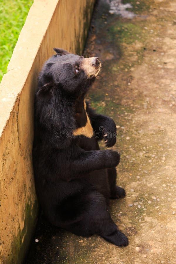 黑熊坐后面爪子的特写镜头在障碍倾斜 免版税库存照片