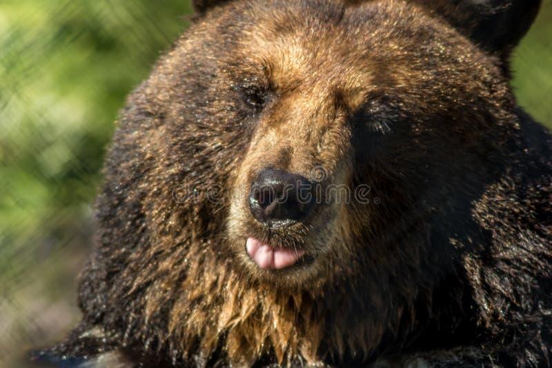 黑熊特写镜头做滑稽的表情绿色背景 免版税库存照片