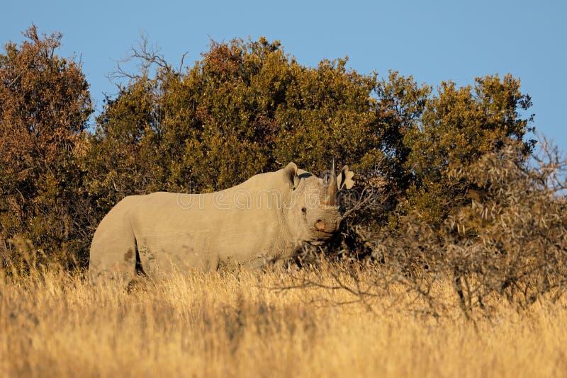黑犀在自然生态环境 库存图片