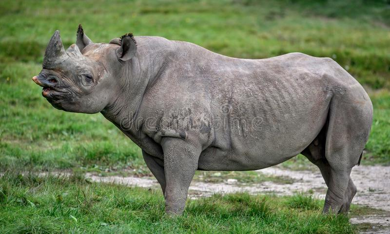 黑犀牛犀牛女性黑犀属bicornis 免版税库存图片