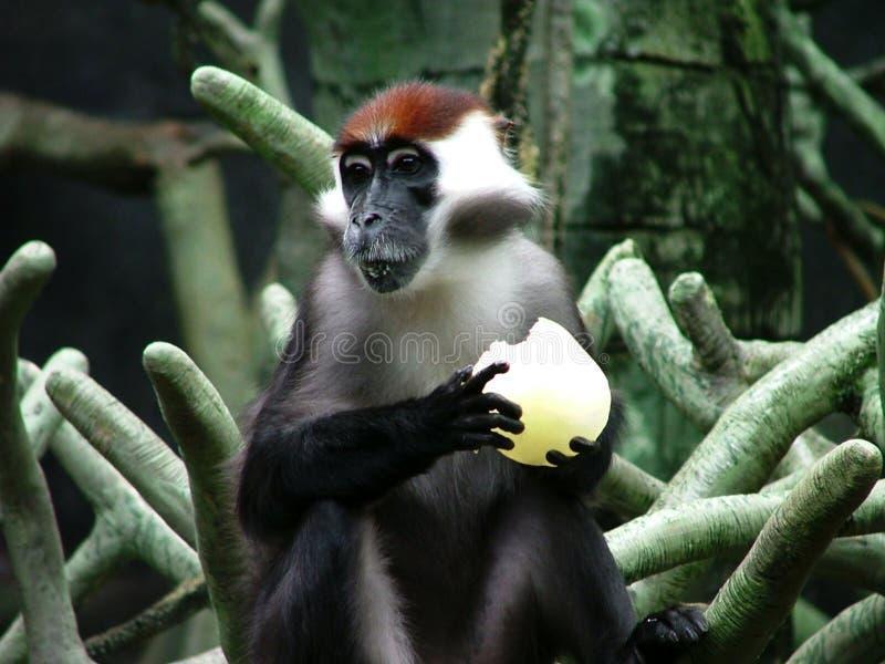 黑猩猩吃 免版税图库摄影