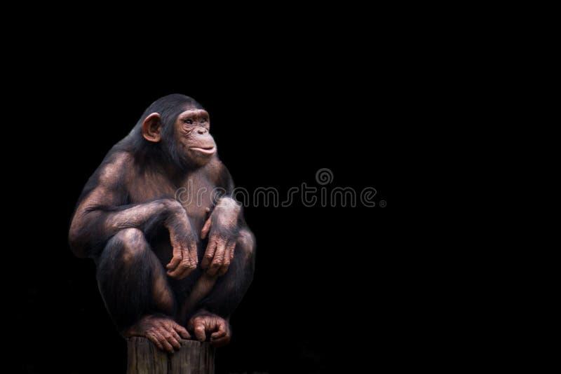 黑猩猩或黑猩猩平底锅穴居人被隔绝 年轻黑猩猩单独画象,坐的蹲下在与盘的腿的木片断 免版税库存图片