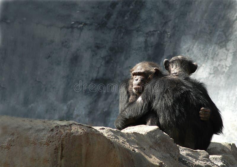 黑猩猩拥抱 库存照片