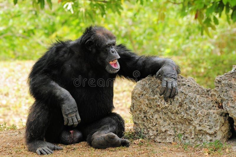 黑猩猩笑 免版税库存照片