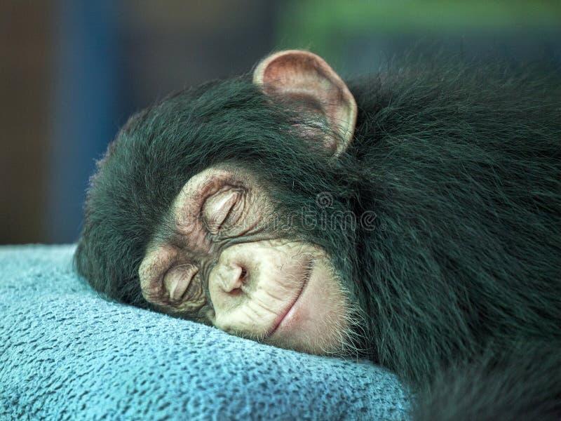 黑猩猩逗人喜爱睡觉 免版税库存照片