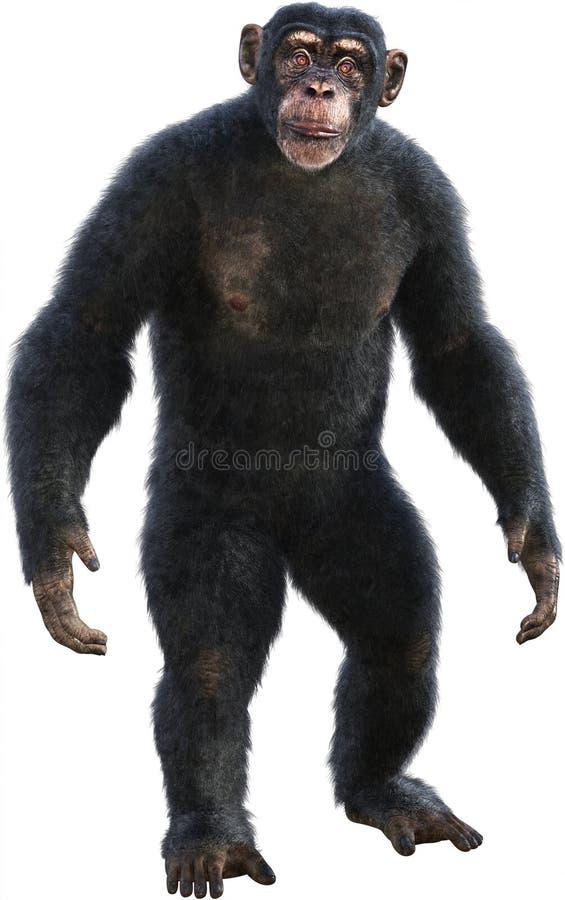 黑猩猩,黑猩猩,猿,大主教,隔绝了 免版税图库摄影