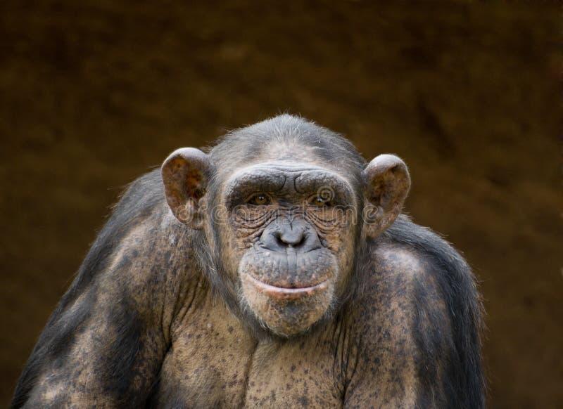 黑猩猩 库存图片