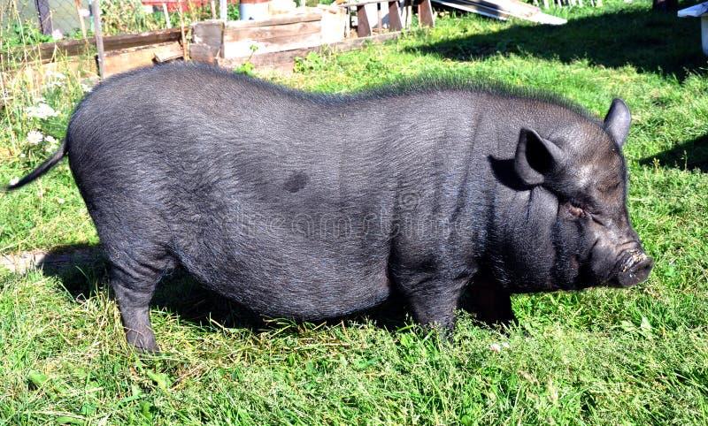 黑猪露天在夏天 免版税库存图片
