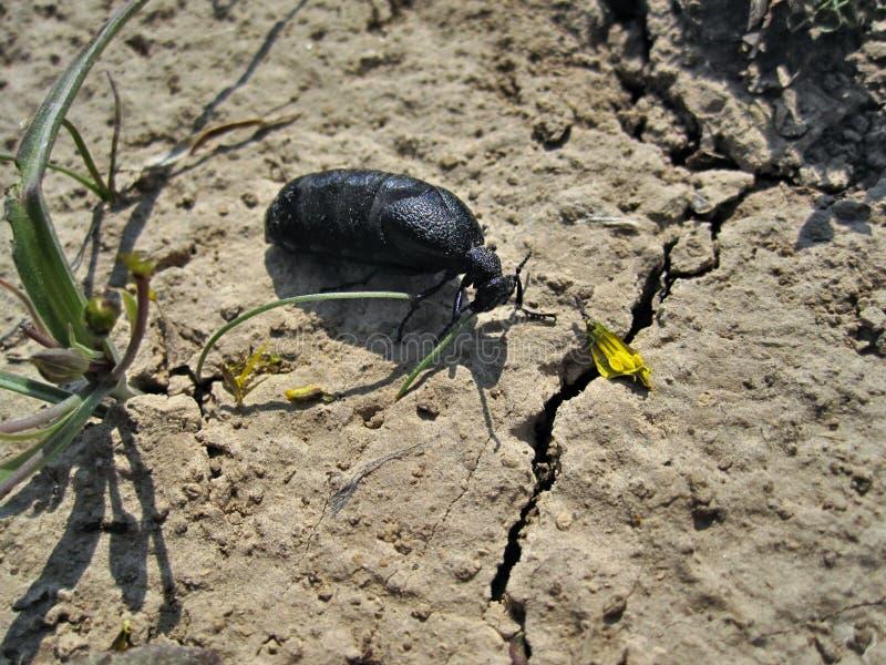 黑甲虫麦克 免版税库存图片