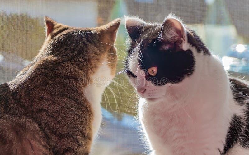 黑白两只成人幼小的猫和平纹一起坐窗台,并且一只猫通过窗口看 库存照片