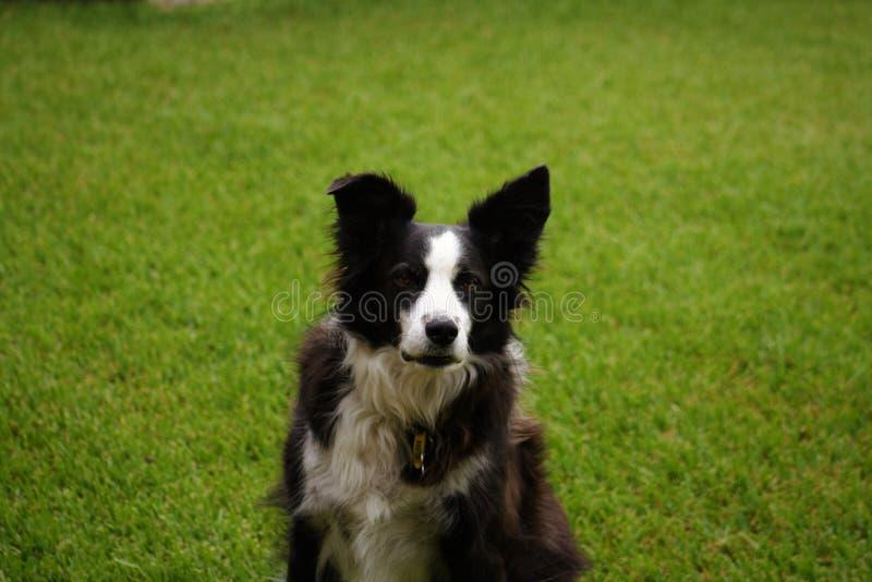 黑白博德牧羊犬坐草坪 库存照片