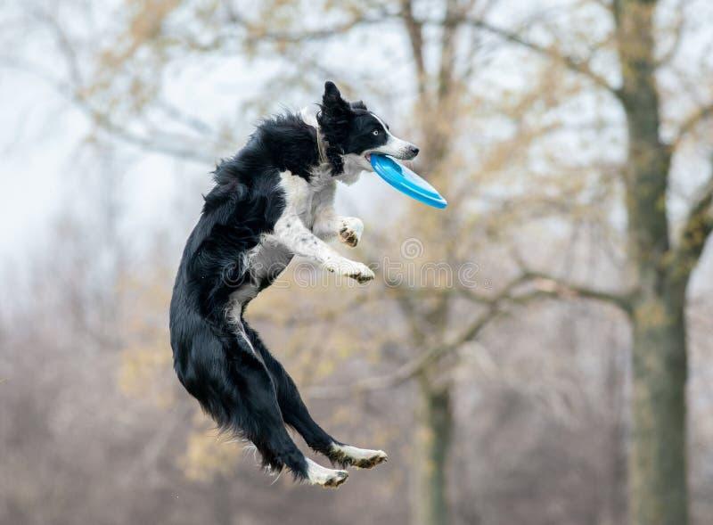 黑白博德牧羊犬抓住在狗fris期间的盘 库存图片