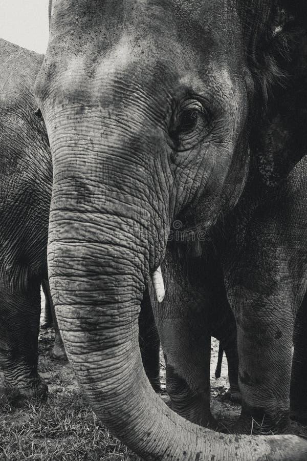 黑白大象在清迈,泰国 库存图片