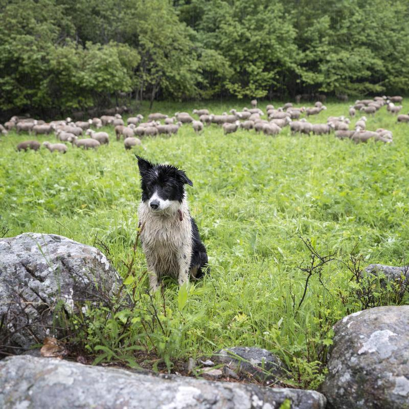 黑白护羊狗在有绵羊的小绿色象草的森林草甸在背景中 免版税库存图片