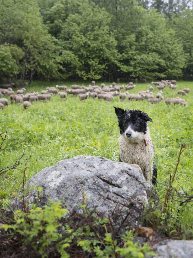 黑白护羊狗在有绵羊的小绿色象草的森林草甸在背景中 图库摄影