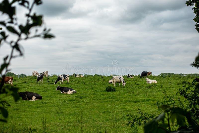 黑白母牛牧群在一个绿色草甸站立,并且天空是阴暗的 库存照片