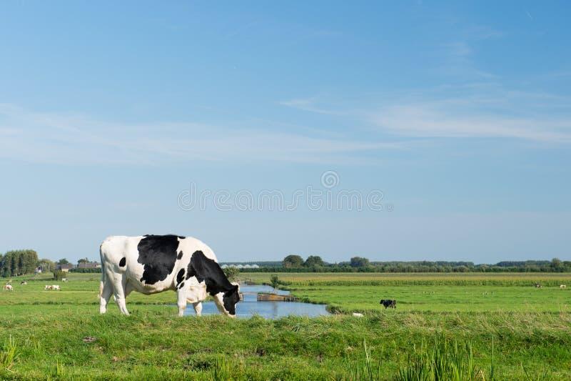 黑白母牛 库存照片
