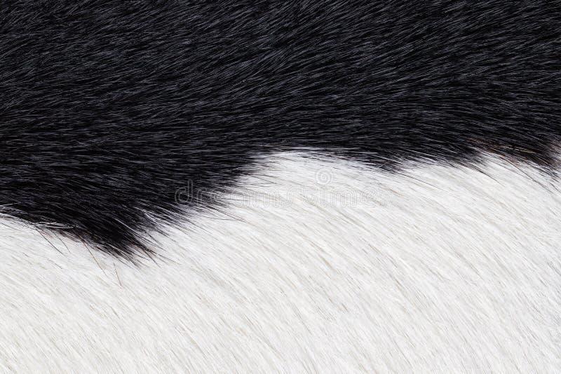 黑白毛皮母牛皮革纹理背景特写镜头  母牛皮肤宏指令  免版税库存照片