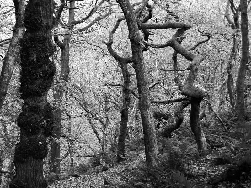 黑白照片在有薄雾的冬天扭转了鬼的令人毛骨悚然的冬天树 库存照片