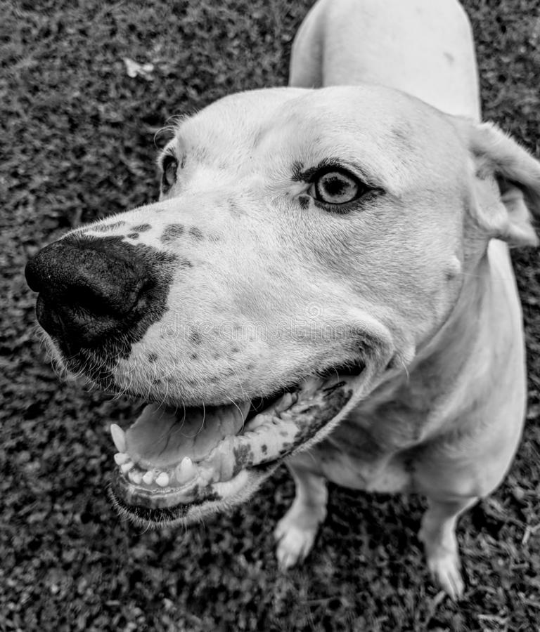 黑白狗画象 免版税库存照片