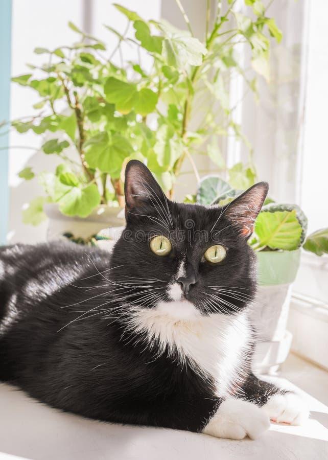 黑白猫在白色窗台说谎并且看照相机 免版税库存照片