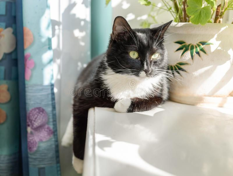黑白猫在被日光照射了窗台说谎 免版税库存图片