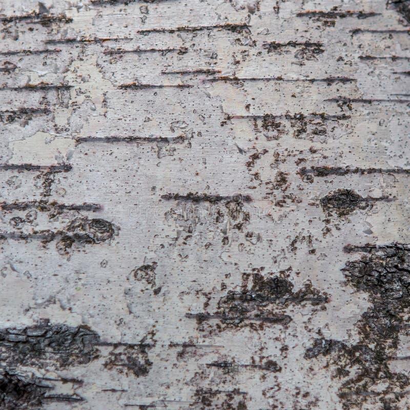 黑白白桦树皮 库存图片