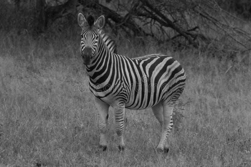 黑白的斑马 库存图片