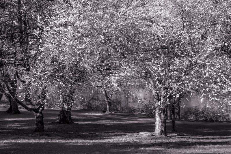 黑白的樱花 图库摄影
