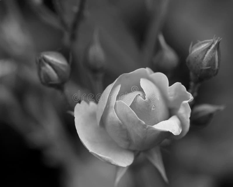 黑白的罗斯 免版税库存照片