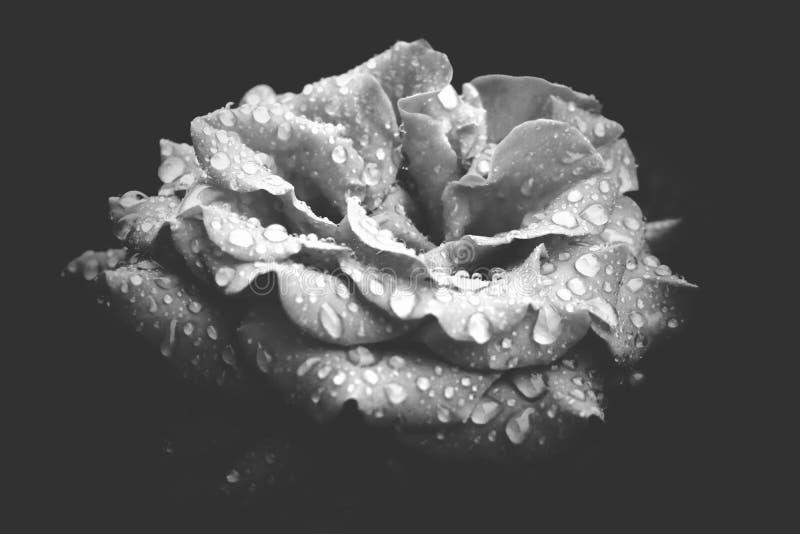 黑白红玫瑰,有雨滴。雨后,我拍了这张美丽的玫瑰的照片。它如此神奇浪漫 库存图片