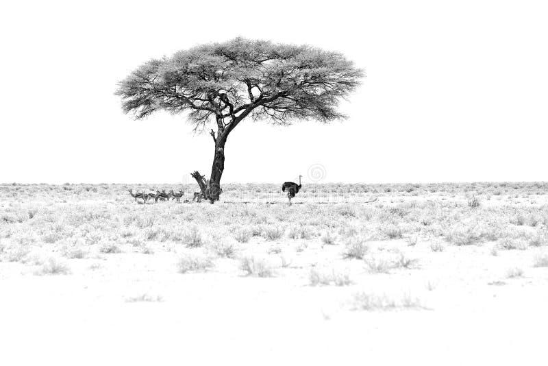 黑白艺术 与太阳的干燥热的天在Etosha NP,纳米比亚 牧群在树下和驼鸟掩藏的羚羊跳羚, 库存照片