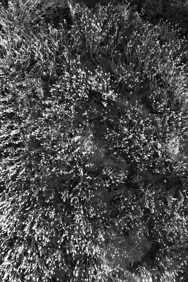 黑白芦苇背景 免版税库存照片