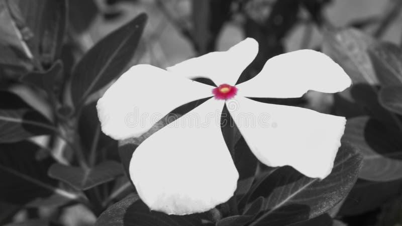 黑白花的桃红色 图库摄影