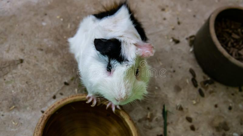 黑白逗人喜爱的仓鼠想要一些食物 库存照片