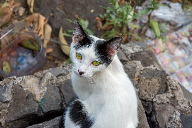 黑白野生猫 免版税库存照片