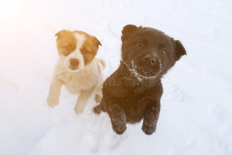 黑白颜色两只饥饿的小狗在他们的在雪的后腿站立并且哀怨看 免版税库存照片