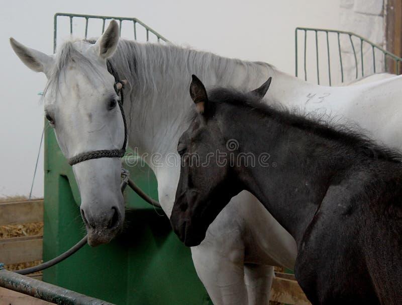 黑白马在槽枥,谷仓 免版税图库摄影