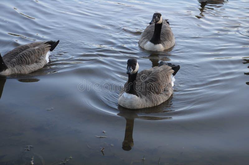 黑白鹅在一个湖在室外的秋天游泳 免版税图库摄影