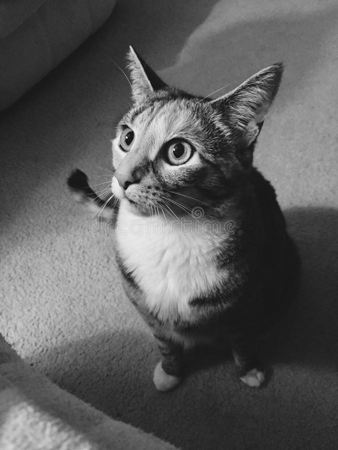 黑白|相当小辈平纹女孩猫 免版税库存图片